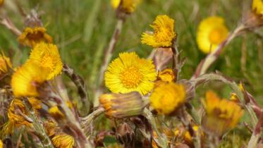 Coltsfoot on Flanders Moss NNR ©David Pickett/SNH. For information on reproduction rights contact the Scottish Natural Heritage Image Library on Tel. 01738 444177 or www.nature.scot