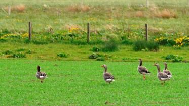 Greylag geese (Anser anser) grazing on a cereal crop, Orkney, Northern Isles Area.©Lorne Gill/SNHFor information on reproduction rights contact the Scottish Natural Heritage Image Library on Tel. 01738 444177 or www.nature.scot