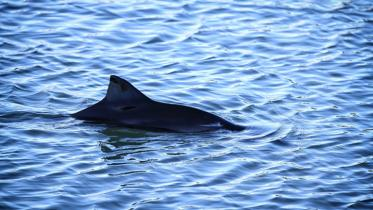Common or Harbour Porpoise (Phocoena phocoena) dorsal fin breaking the water. ©Shutterstock. Originates from SNH Blog