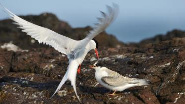Arctic tern (Sterna paradisadea) feeding a sandeel to its newly fledged chick. Scurdie Ness, Montrose. ©Lorne Gill/SNH. For information on reproduction rights contact the Scottish Natural Heritage Image Library on Tel. 01738 444177 or www.nature.scot