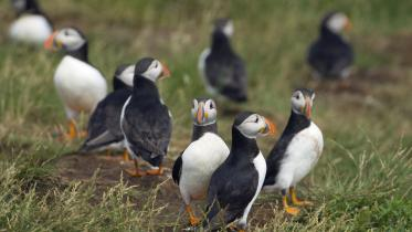Puffins. ©Lorne Gill/SNH. For information on reproduction rights contact the Scottish Natural Heritage Image Library on Tel. 01738 444177 or www.nature.scot