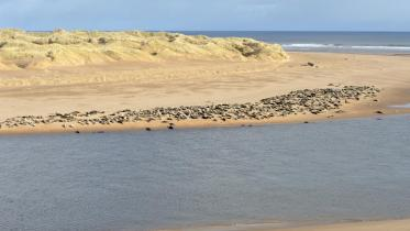 Grey seals at Forvie NNR