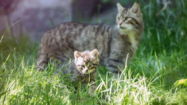 Wildcat kittens, Edinburgh Zoo. ©RZSS