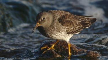 Purple sandpiper. ©Ron Macdonald.