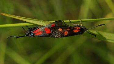 New Forest burnet (male & female), ©Ilia Ustyantsev, Butterfly Conservation