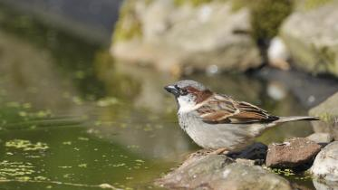 Male House sparrow drinking at a garden pond. ©Lorne Gill/SNH.For information on reproduction rights contact the Scottish Natural Heritage Image Library on Tel. 01738 444177 or www.nature.scot
