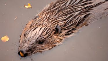 European Beaver (Castor fiber) swimming. ©Lorne Gill/SNH. For information on reproduction rights contact the Scottish Natural Heritage Image Library on Tel. 01738 444177 or www.nature.scot