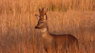 Roe deer have been more visible, ©Lorne GIll/SNH