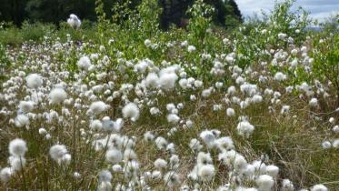 Bog cotton on Flanders Moss NNR.  ©David Pickett/SNH. For information on reproduction rights contact the Scottish Natural Heritage Image Library on Tel. 01738 444177
