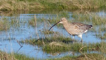 A curlew (bird) standing on coastal pools