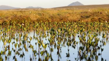 Bog bean growing in a peatland lochan