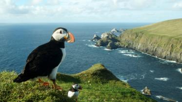 Puffins at Hermaness National Nature Reserve