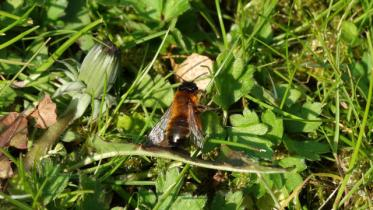 Buffish mining bee on the ground